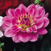Dahlia Water Lily Lilac