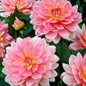 Dahlia Water Lily Pink