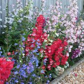 Penstemon Mixed