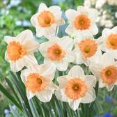 Daffodil Full Throttle