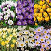 Crocus Winter Flowering Collection