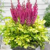Astilbe Thunder And Lightning