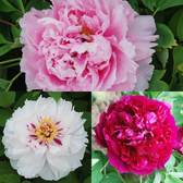 Tree Peony Suffruticosa Collection