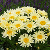 Leucanthemum Banana Cream (9cm Pot Plants)