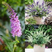 Buddleia Miniature Collection