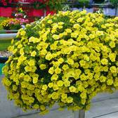 Calibrachoa Double Can Can Lemon