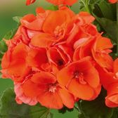 Geranium Grandeur Power Orange