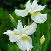 Iris sibirica 'Creme Chantilly'