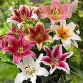 Lily Goliath Mixed 16cm+