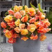 Begonia Apricot Cascades