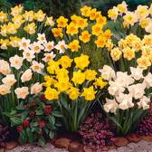 Narcissi Uk Grown Collection
