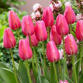 Tulip Cape Holland