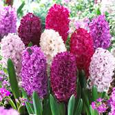 Hyacinth Passion Mix 17-18cm