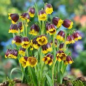 Fritillaria Michailovski Bulbs