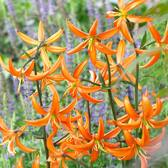 Lilium Martagon Orange Marmalade