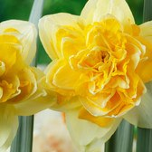 Narcissi Great Leap