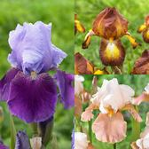 Iris Germanica Collection