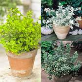 Euonymus Dwarf Collection