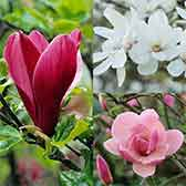 Magnolia Unusual Collection