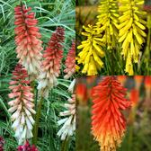 Kniphofia Popsicle Collection