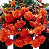 Begonia Giant Cascading Orange 5/6cm Tubers