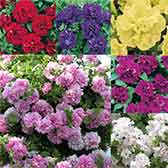 Surfinia Trailing Double Flowering Collection