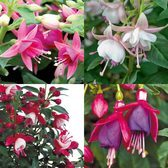 Fuchsia Patio Fairy Collection