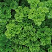 Parsley Curly Leaf