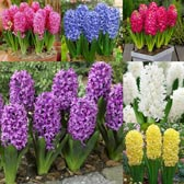 Hyacinth Collection 17/18cm