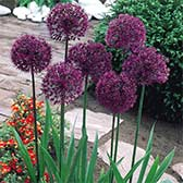 Allium Aflatunense Purple Sensation
