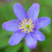 Anemone Nemerosa 'royal Blue'
