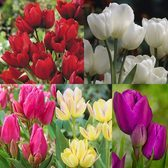 Tulip Multi Flowered Collection