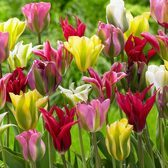 Viridiflora Tulips Mixed 10/11cm Bulbs