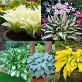 Designer Hosta Collection