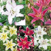 Lily Fragrant Oriental Collection