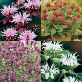 Fragrant Monarda Collection
