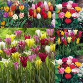 Tulip Mixture Collection 10/11cm