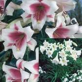 Lily Longifolium Collection