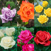 Fragrant Ht Rose Collection