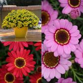 Arygyranthemum Grandaisy Collection