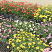 Argyranthemum Grandaisy Mixed (Giant Marguerites)