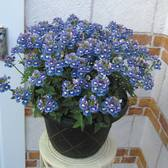 Nemesia Sunpeddle Blue