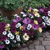 Osteospermum Single Mixed