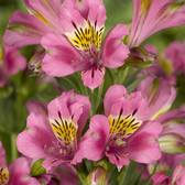 Alstroemeria Summer Party