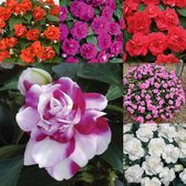 Impatiens Double Diadem Mixed
