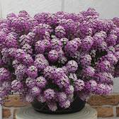 Lobularia Awesome Bicolour