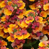 Nemesia Lyric Copper
