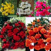 Begonia Giant Cascading Collection (Pendula)