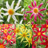 Dahlia Honka Collection