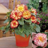 Begonia Majestic Collection (garden Ready)